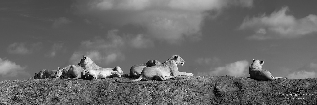 African Lion, b&w, Phinda, KZN, SA, Oct 2016-7