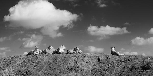 African Lion, b&w, Phinda, KZN, SA, Oct 2016-6