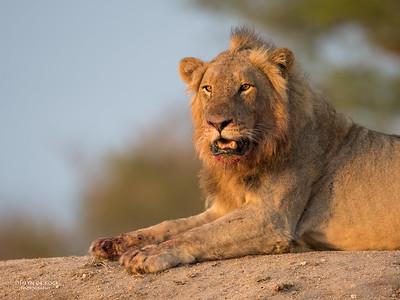African Lion, Sabi Sands (EP), SA, Oct 2016-12