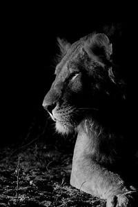 African Lion, b&w, Sabi Sands (EP), SA, Oct 2016-34