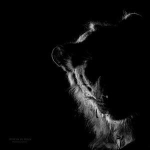 African Lion, b&w, Sabi Sands (EP), SA, Oct 2016-1
