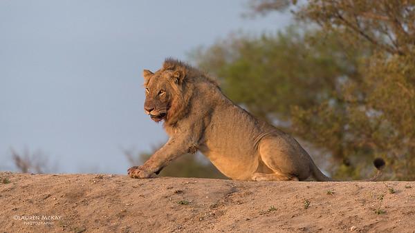 African Lion, Sabi Sands (EP), SA, Oct 2016-6