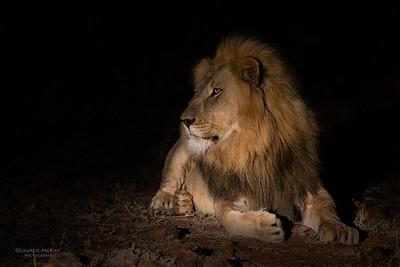 African Lion, Madikwe GR (Imp), SA, Sept 2015-3