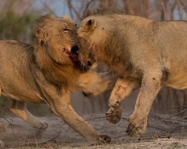 African Lion, Sabi Sands (EP), SA, Oct 2016-7