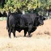 Brangus Bull_SS97551