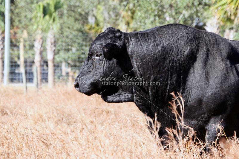 Brangus Bull_SS97440