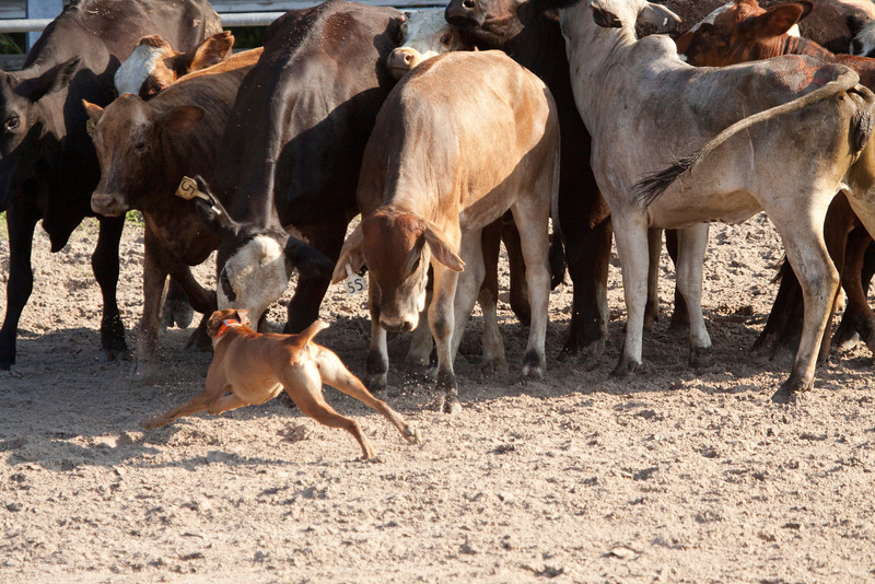 Cow Dog SS11611
