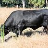 Brangus Bull_SS97485