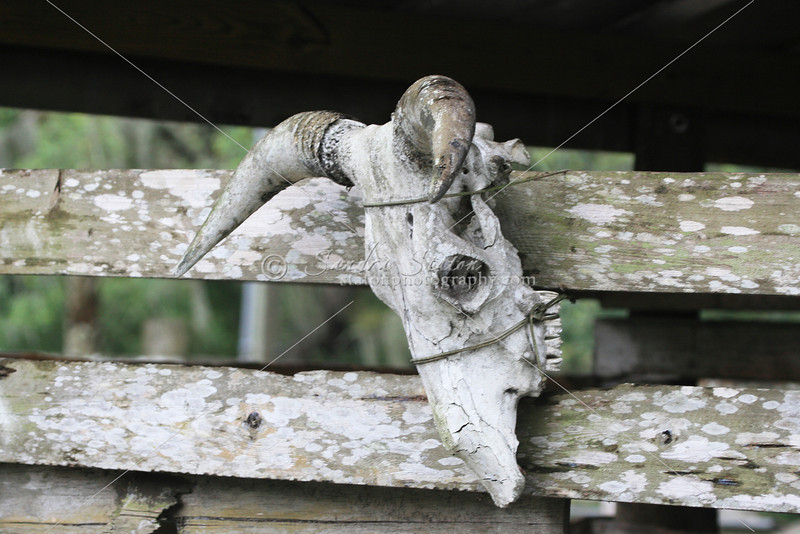 Cowhead on railing_SS7277