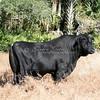 Brangus Bull_SS97597