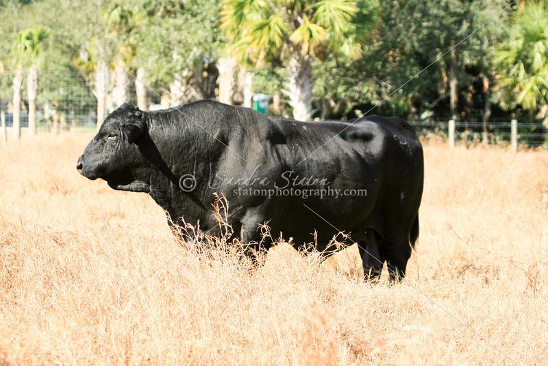 Brangus Bull_SS97417