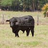 Brangus Bull_SS91662