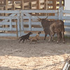 Ranch Rodeo Dogs SS11651