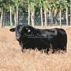 Brangus Bull_SS97382c