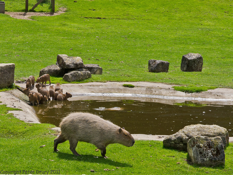 03 July 2011. Capybara at Marwell. Copyright Peter Drury 2011