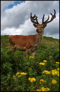 Red Deer in semi-captivity