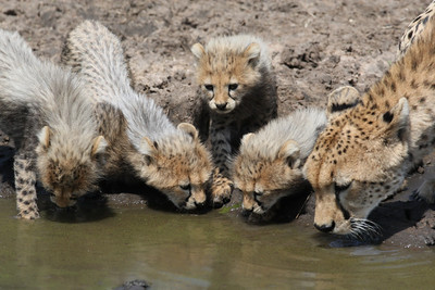 Mother Cheetah drinking with cubs