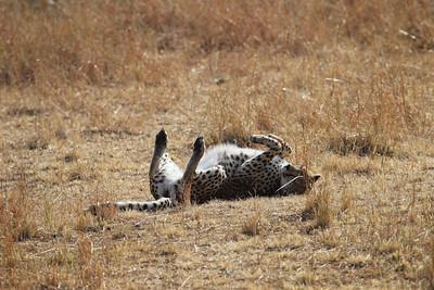 Cheetah rolling in the dirt