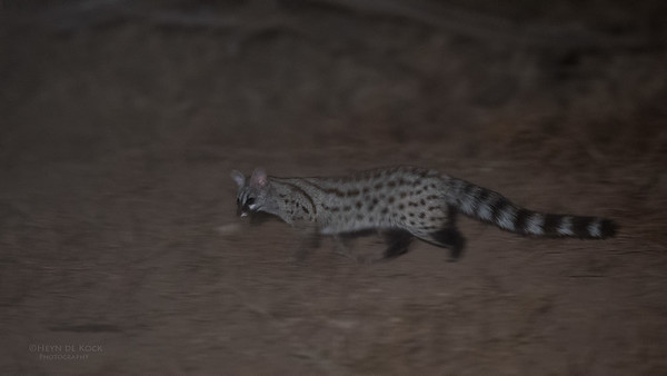 Small-spotted Genet, Mashatu GR, Botswana, May 2017-1