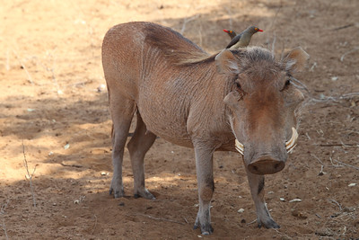 Common Warthog with Red-billed Oxpeckers
