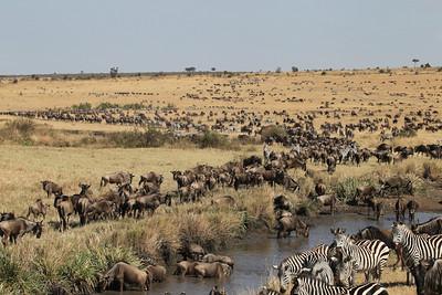 Wildebeest and Common Zebras