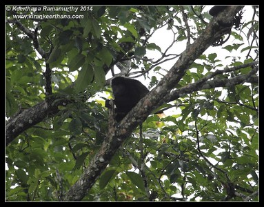 Howler Monkey, Cano Negro Wildlife Refuge, Costa Rica, November 2014
