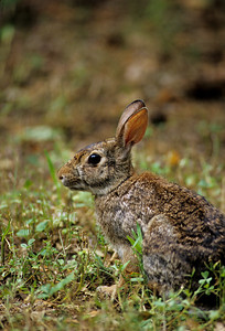Desert Cottontail-123