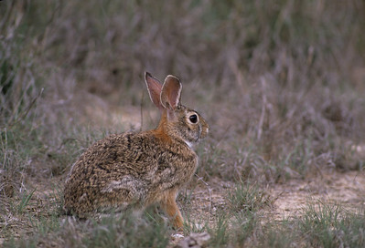 Desert Cottontail-119