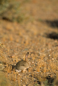 Desert Cottontail-105