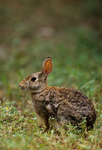 Desert Cottontail-126