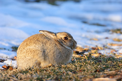 Cottontail Rabbit-144