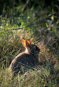 Cottontail Rabbit-121