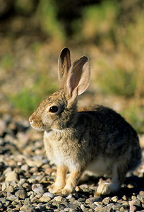 Desert Cottontail-112