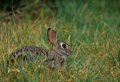 Desert Cottontail-125