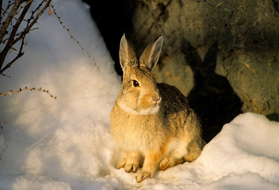 Cottontail Rabbit-102