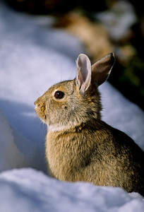 Cottontail Rabbit-103