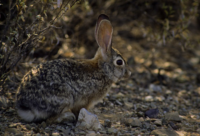 Desert Cottontail-111