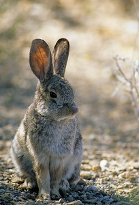 Desert Cottontail-107