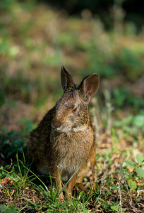 Desert Cottontail-128
