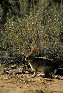 Desert Cottontail-110