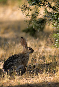 Desert Cottontail-106