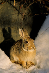 Cottontail Rabbit-104
