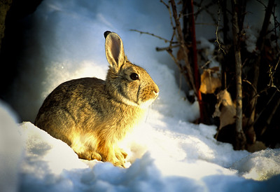 Cottontail Rabbit-101