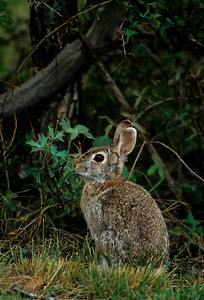 Desert Cottontail-113