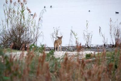 Coyote Fishing.