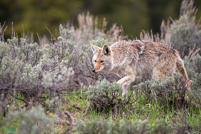 Hunting Coyote.