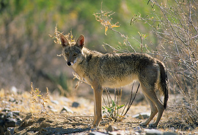 Coyote-255