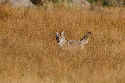 Coyote-462