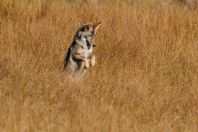 Coyote-471