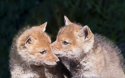 Coyote Cuties